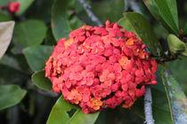 Red flowers by Florentina Necunoscutu de Carvalho