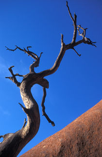 Uluru and dead tree by Andrew Wheeler