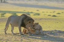 Lion patriarch rubbing faces with lioness. Kalahari desert.South Africa. by Yolande  van Niekerk