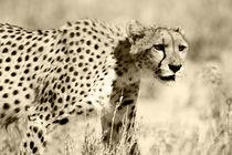 Kalahari Cheetah von Yolande  van Niekerk