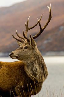 Red Deer Stag With Antlers von Derek Beattie