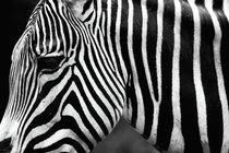 Zebra von John Rizzuto