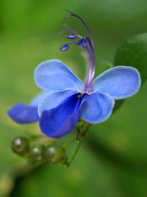 Clerodendronfin