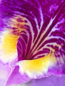 Orchideenherzpe