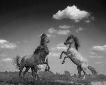 Henri-ton-2009-prancing-horses