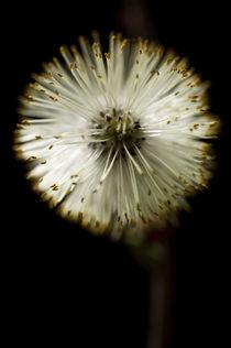 'Blüte der Weide' by Tonio Termeer