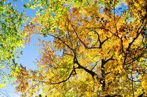 Herbstbäume von caladoart