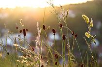 Gräser im Sonnenuntergang von caladoart