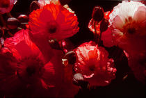 Threatening Poppies by David Halperin