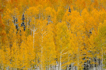 Autumn Aspen Grove by Barbara Magnuson & Larry Kimball