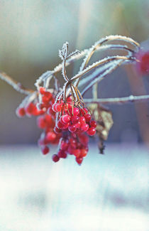 Spell of Winter, rowan berry #2 by Eva Stadler