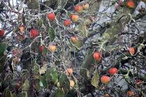 Winteräpfel by Licht und Mystik des Nordens
