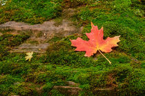 Maple Leaf of Fall von Barbara Magnuson & Larry Kimball