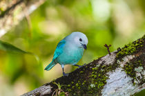 Blue-gray-tanager-on-a-branch-9088c