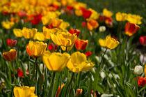 Tulpenfeld von Angela Dieckmann