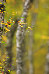 Birch Leaves in Autumn von Louise Heusinkveld