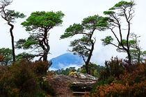 Twisted Pines in Glen Affric by Louise Heusinkveld