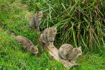 Scottish-wildcat0090