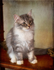 Siberian Forest Kitten II by Louise Heusinkveld