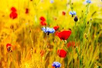 Poppies by fraenks