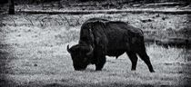 Yellowstone Bison by Ken Dvorak