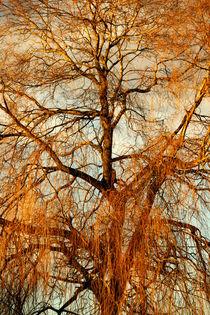 Trauerweide im Winterkleid von Heidrun Lutz
