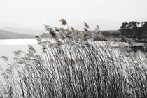 Reeds by Kume Bryant