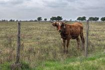 Da-brown-cow