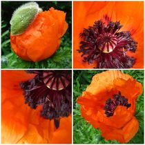 poppies by Sabine Cox