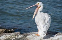 Pelican Yawn by agrofilms