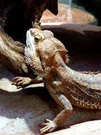Exotisches Reptil by Sven  Herkenrath