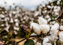 Cotton Boll by Jon Woodhams