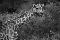 Giraffe in schwarz/weiss by travelfoto