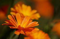 Ringelblumen by Bianca Schumann