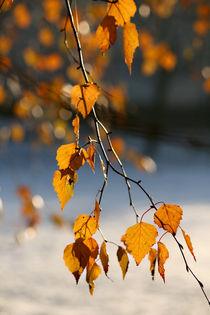Goldene Birke von Heidrun Lutz