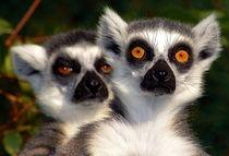 Kattas mit großen Augen - Big Bright Eyes  by Eddie Scott