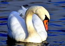 Swimming Swan - Blue Water - Schwan auf dem Schloßsee by Eddie Scott