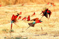 Carmine Bee-Eaters flying close to the Sambesi - Karminspinte im Flug by Eddie Scott