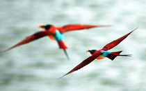 Carmine Bee-Eaters flying over the Sambesi - Karminspinte im Flug by Eddie Scott