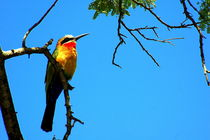 Bienenfresser am Sambesi - Bee-Eater on a branch - Sambesi by Eddie Scott