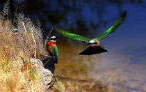 Flying african white chested Bee-Eater - Afrikanischer Bienenfresser im Flug   by Eddie Scott