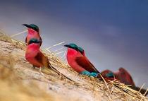 Kolonie der Roten Bienenfresser am Sambesi - Namibia von Eddie Scott