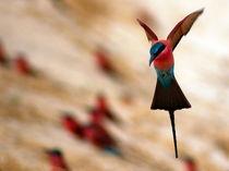 Flugstudie Roter Bienenfresser - Flying Carmine Bee Eater Namibia von Eddie Scott