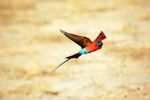 Red Bee-Eater over the Sambesi River - Karminspint Roter Bienenfresser Namibia by Eddie Scott