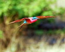 Segelflug des Roten Bienenfressers - Flying Carmine Bee-Eater - Africa von Eddie Scott