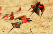 2 Carmine Bee-Eaters flying close to the Sambesi - Rote Bienenfresser im Flug by Eddie Scott