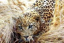 Leopard-afrika-namibia-katze-raubkatze-3