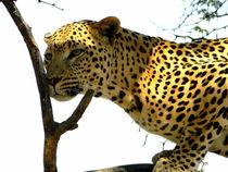 Leopard-afrika-namibia-katze-raubkatze-4