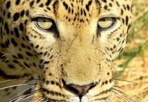Leopard-afrika-namibia-katze-raubkatze-10