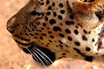 Leopard-afrika-namibia-katze-raubkatze-13